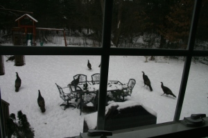Turkeys in our back yard.  I totally fed them and they stayed for three months.  Learn from my mistakes, people.
