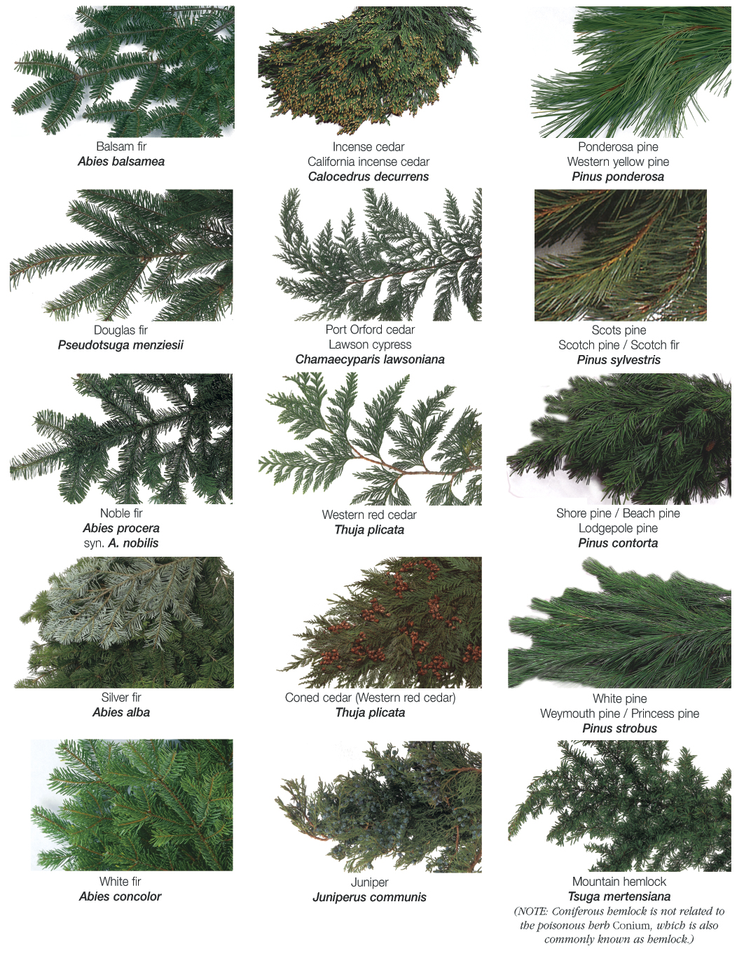 how to identify different evergreen trees   second scouting, Natural flower